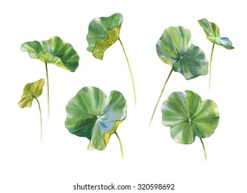 watercolor painting of Lotus leaf on white background