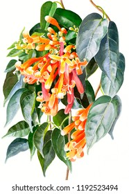 watercolor painting orange trumpet creeper tropical flower white background