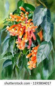 watercolor painting orange trumpet flame vine