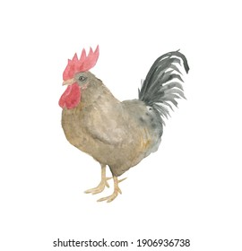 Watercolor painting rooster isolated on white