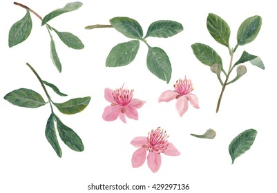 Watercolor painting set of Feijoa (Acca sellowiana) branch with flowers. Isolated on white
