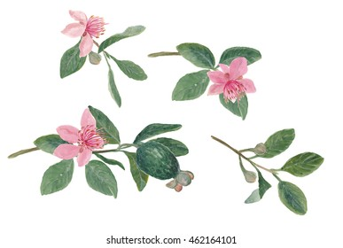 Watercolor painting set of Feijoa (Acca sellowiana) branch with flowers and fruit. Isolated on white