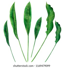 Watercolor painting set green leaves isolated on white background.Watercolor hand drawn illustration palm,banana leaves tree tropical exotic leaf for wallpaper Hawaii aloha summer style pattern.