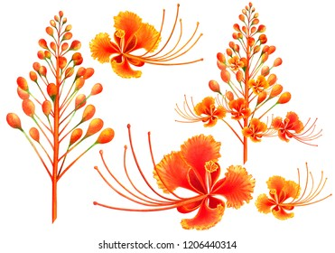 watercolor painting set orange,yellow,red blooming flowers isolated on white background.Hand drawn illustration tropical exotic colorful peacock flower for wallpaper summer aloha hawaii style pattern.