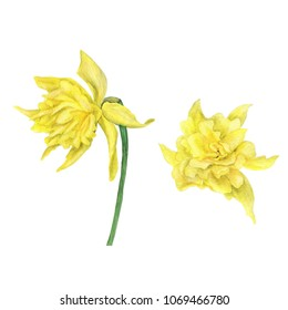 Watercolor painting set of two yellow daffodil flowers isolated on white