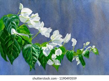 Watercolor painting white bougainvillea leaves blue gray background