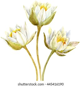 watercolor painting white lotus,  lily flower, botanical illustration