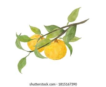 Watercolor painting of yuzu fruits