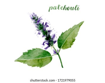 Watercolor patchouli illustration. Hand drawn patchouli branch with leaves and flowers isolated on white background. Herbal medicine and aroma therapy. Cosmetics and medical plant.