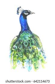 Watercolor peacock.
