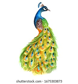 Watercolor peacock colorful  illustration painting
