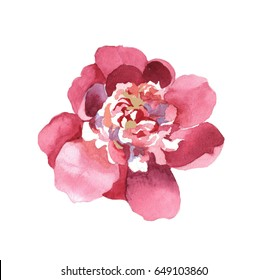 watercolor peonies hand painting isolated on white background set for greeting cards, paper, fabrics