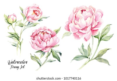 Watercolor peonies set. Hand drawn botanical illustration. Realistic isolated objects on white background for your design