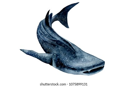 watercolor picture. whale shark. Rhincodon typus
