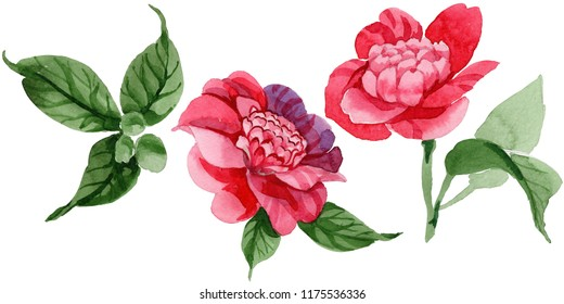 Watercolor pink camellia climbing flower. Floral botanical flower. Isolated illustration element. Aquarelle wildflower for background, texture, wrapper pattern, frame or border.
