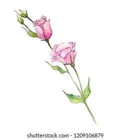 Watercolor pink eustoma flower. Floral botanical flower. Isolated illustration element. Aquarelle wildflower for background, texture, wrapper pattern, frame or border.