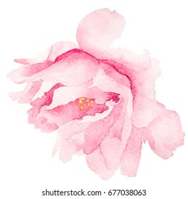 watercolor  pink flower peony rose . for postcard, invitation, tag, flyer, logo,textile, illustration isolated on white background