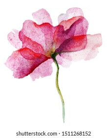Watercolor pink flower rose on white background.