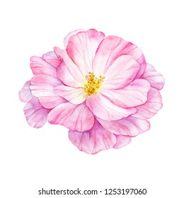 Watercolor pink flower of wild rose. Painted botanical illustration. Hand drawn floral element isolated on white background.