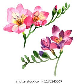 Watercolor pink freesia flower. Floral botanical flower. Isolated illustration element. Aquarelle wildflower for background, texture, wrapper pattern, frame or border.