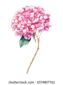 Watercolor pink hydrangea flower. Hand painted botanical illustration summer garden plant. Natural object isolated on white background