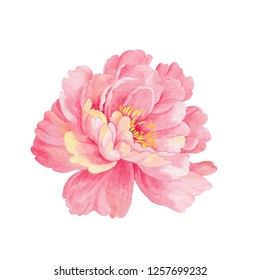 A watercolor pink peony