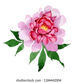 Watercolor pink peony flower. Floral botanical flower. Isolated illustration element. Aquarelle wildflower for background, texture, wrapper pattern, frame or border.