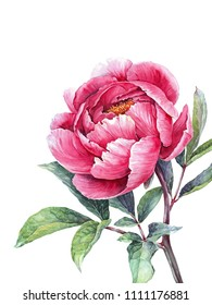 Watercolor pink peony. Vintage floral element. Hand drawn botanical illustration