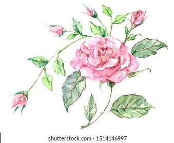 Watercolor pink rose with buds. Illustration for design.