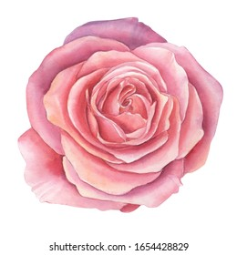 Watercolor pink rose flowers, isolated on white background