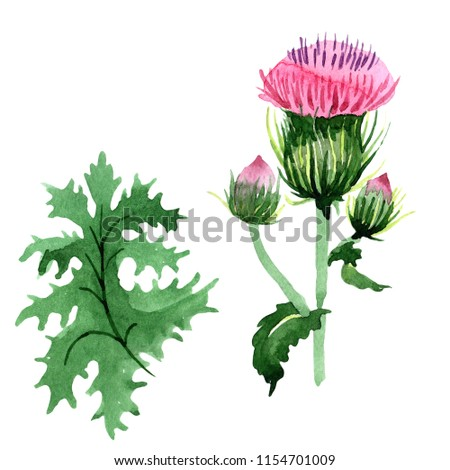 9a1c315f4 Watercolor pink thistle wildflower. Floral botanical flower. Isolated  illustration element. Aquarelle wildflower for