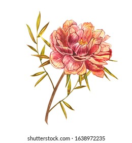 Watercolor Piones. Wild flower set isolated on white. Botanical watercolor illustration, rustic flowers. Good for cosmetics, medicine, treating, aromatherapy, nursing, package design, field bouquet