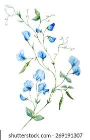 Watercolor, plant, sweet peas, blue, botany, flower