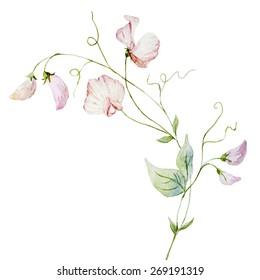 Watercolor, plant, sweet peas, pink, flower