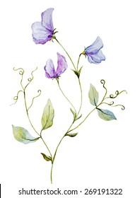 Watercolor, plant, sweet peas, purple, flower