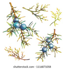 Watercolor plants juniper and grass isolated on white background. Botanical illustration with berries and branches
