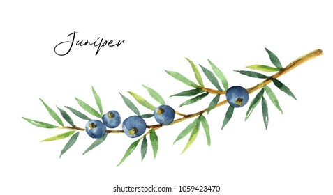 Watercolor plants juniper isolated on white background. Botanical illustration with berries and branches.