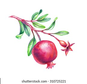watercolor pomegranate illustration, branch with green leaves and fruits, design element isolated on white background
