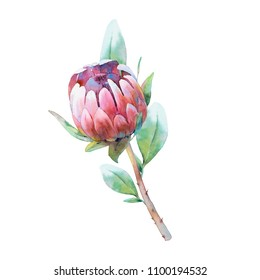 Watercolor Protea branch. Hand drawn botanical illustration of exotic flower. Natural element close up isolated on white background