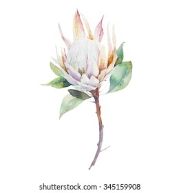 Watercolor protea flower. Hand painted single flower of protea with leaves isolated on white background. Artistic botanical illustration