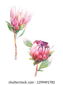Watercolor protea flowers. Set of hand painted exotic plants isolated on white background. Botanical illustrations of summer flora