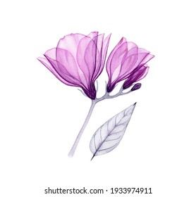 Watercolor purple fresia. Hand painted artwork with transparent violet flowers isolated on white. Botanical illustration for cards, wedding design