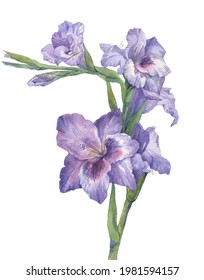 Watercolor purple gladiolus flower on a white background