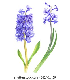 Watercolor purple hyacinth flowers. Hand drawn on white background.Clipping path included. Illustration for various tasks such as greeting cards, birthday cards, or different print jobs.