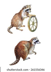 Watercolor raccoon realistic painting, clipping path included