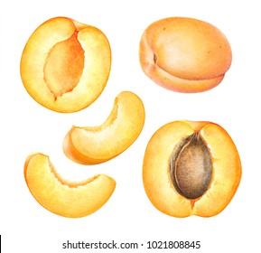 Watercolor realistic botanical illustration of the apricot fruits isolated on white background.