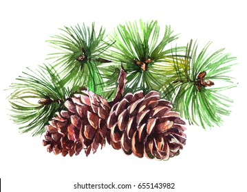 Watercolor realistic cones of spruce plant isolated on white background.