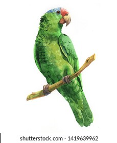 Watercolor realistic green parrot tropical bird animal isolated on a white background illustration.