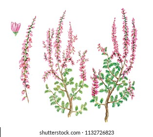 watercolor realistic illustration hand made oh heather (calluna vulgaris) plant with flowers and leaves on white