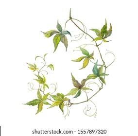 Watercolor realistic illustration of a long twig of parthenocissus. wild grape botanical art.  Detailed hand-drawn curly twig of virginia creeper